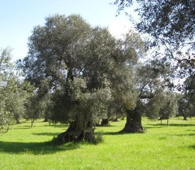 I greci condannavano con la morte chi uccideva un albero d for Foto di alberi da colorare