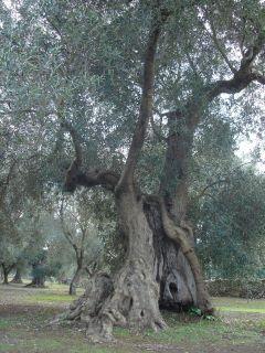 ulivi-borgagne-santoro3