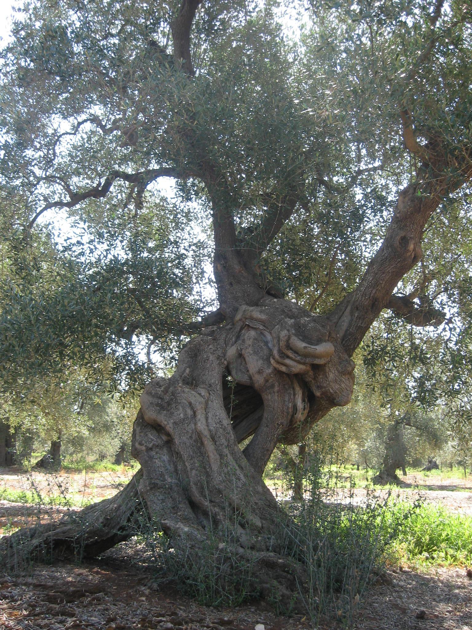 Quando l ulivo monumentale fondazione terra d 39 otranto for Foto di alberi da colorare