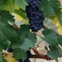 Fatti il vino in casa con le uve dei Nassisi di Melissano