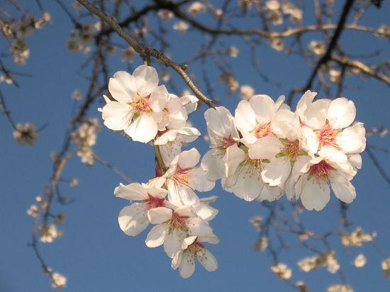 I mandorli del salento molti fiori poco frutto ecco for Foto case giapponesi