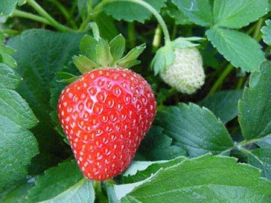 Tutto sulla fragola parola di agronomo fondazione terra for Pianta di fragole