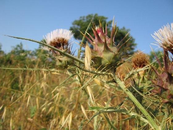 immagine tratta da http://www.actaplantarum.org/acta/galleria1.php?id=1319