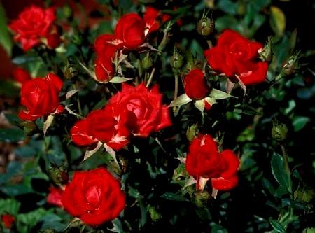 Il giardino del poeta ancora un piccolo omaggio a - Giardino con rose ...