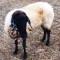 Gli animali nei proverbi salentini  (3/x): la pecora