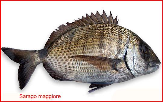 Saraghi co i pesci pi pregiati dei mari del salento ii parte fondazione terra d 39 otranto - Pesci piu comuni in tavola ...