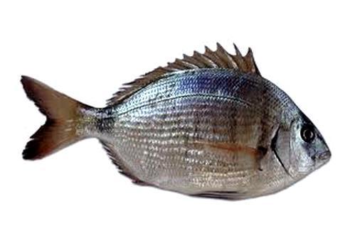 Saraghi co i pesci pi pregiati dei mari del salento i parte fondazione terra d 39 otranto - Pesci piu comuni in tavola ...