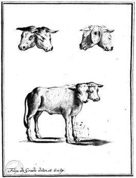 Michelangiolo Ruberti di Alessano e il vitello a due teste